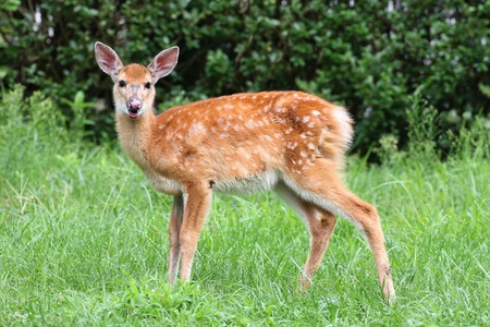 virginianus: White-tailed Deer (Odocoileus virginianus) fawn with a green background