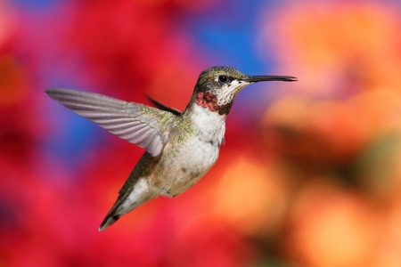 Juvenile Ruby-throated Hummingbird (archilochus colubris) in flight with a floral  background
