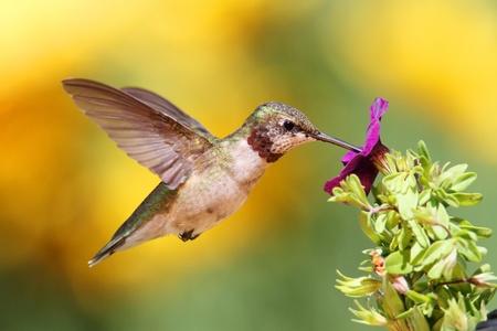 少年ノドアカハチドリ (アルキロコス colubris) 紫花と花の背景と飛行中