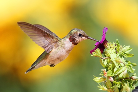 Juvenile Ruby-throated Hummingbird (archilochus colubris) in flight with a purple flower and a floral background