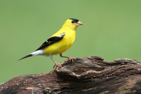 American Goldfinch (Carduelis tristis) on a log Imagens - 10530390