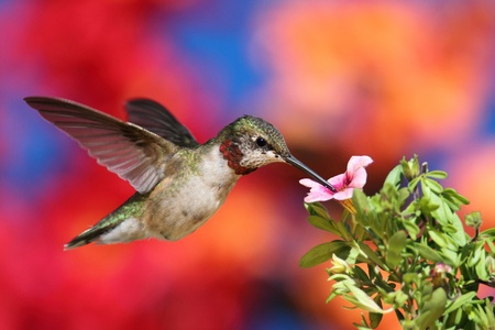 Juvenile Ruby-throated Hummingbird (archilochus colubris) in flight at a flower with a colorful background photo