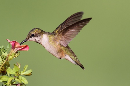 少年ルビー throated ハチドリ (アルキロコス colubris) 花と飛行中 写真素材
