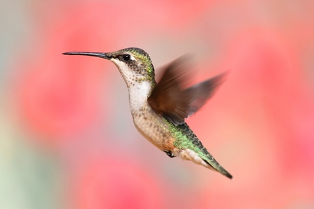Juvenile Ruby-throated Hummingbird (archilochus colubris) in flight with a colorful background Stock Photo - 10637234