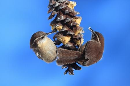 thryothorus: Carolina Wrens (Thryothorus ludovicianus) on a pine cone with a blue sky background Stock Photo