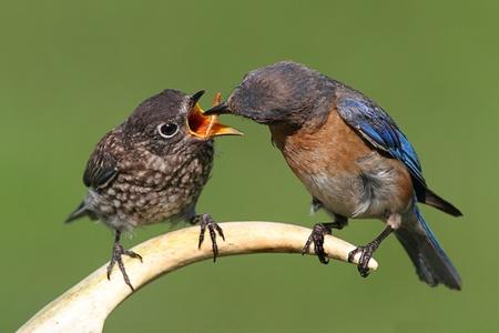 fledgling: Female Eastern Bluebird (Sialia sialis) feeding a hungry baby on a deer antler