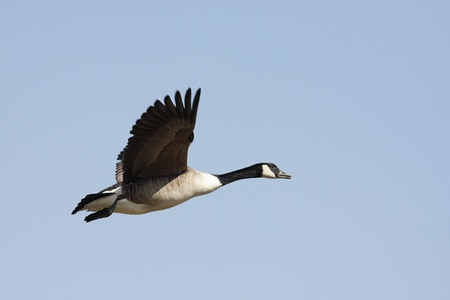 canadensis: Canada Goose (Branta canadensis) in flight with a blue sky background Stock Photo