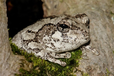 Gray Tree Frog (Hyla versicolor) in a tree with moss Stock Photo - 10764027
