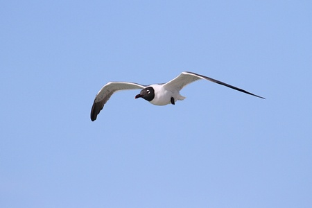 gulf of mexico: Laughing Gull (Larus atricilla) in flight over the Gulf of Mexico