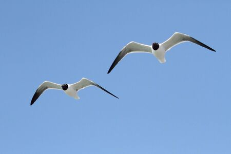 gulf of mexico: Laughing Gulls (Larus atricilla) in flight over the Gulf of Mexico