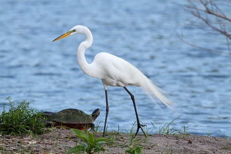 Great Egret (Ardea alba) nesting in the Florida Everglades with a turtle 스톡 콘텐츠