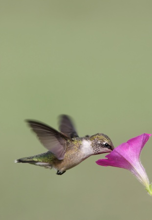 Juvenile Ruby-throated Hummingbird (archilochus colubris) in flight with a flower and empty space for text photo