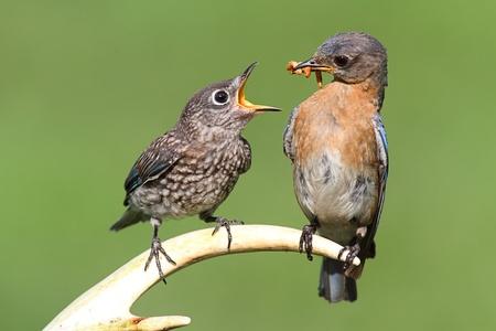 Vrouw Eastern Bluebird (Sialia sialis) het voeden van een hongerige baby op een hertengewei