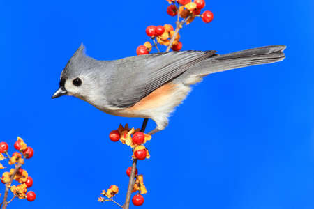 titmouse: Tufted Titmouse (baeolophus bicolor) perched on Oriental Bittersweet with a blue background