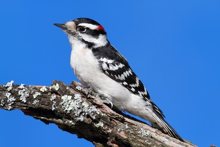 downy woodpecker: Male Downy Woodpecker (picoides pubescens) on a branch with a blue sky background