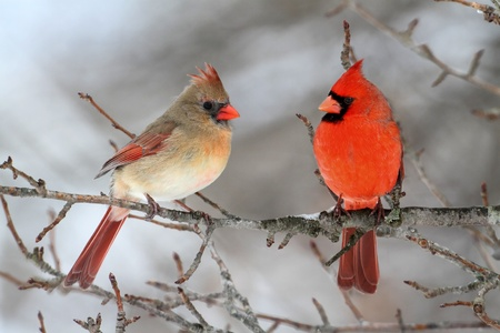 cardinal bird: Pair of Northern Cardinal (cardinalis cardinalis) in a tree Stock Photo
