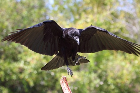 American Crow (Corvus brachyrhynchos) landing on a perch Stock Photo