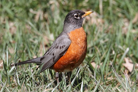 American Robin (Turdus migratorius) on a lawn in spring