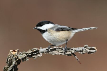 capped: Black-capped Chickadee (poecile atricapilla) on a branch with a colorful background