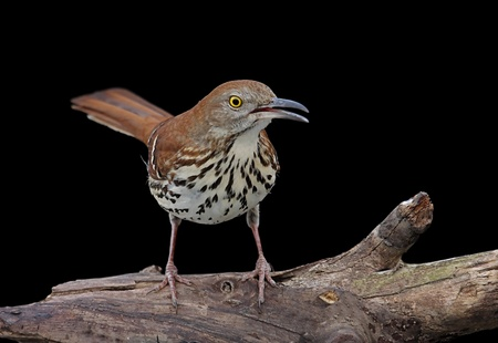 Brown Thrasher (Toxostoma rufum) on a log with a black background