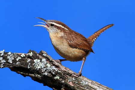 thryothorus: Carolina Wren (Thryothorus ludovicianus) singing on a branch with a blue sky background
