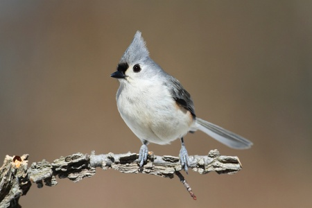 tufted: Tufted Titmouse (baeolophus bicolor) on a perch