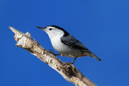 carolinensis: White-breasted Nuthatch (sitta carolinensis) on a tree branch with a blue sky background