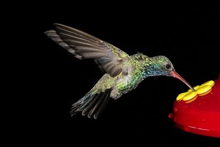 colibries: Broad-billed Hummingbird (latirostris Cynanthus) en un alimentador con un fondo negro