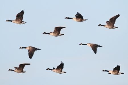 거위: 푸른 하늘 배경으로 비행 캐나다 기러기 (Branta canadensis)