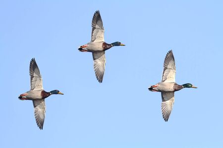 anas: Pair of Mallards (Anas platyrhynchos) flying against a blue sky