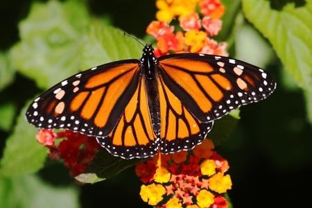 Monarch Butterfly (danaus plexippus) on colorful Lantana Flowers 스톡 콘텐츠