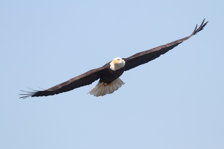 Adult Bald Eagle (haliaeetus leucocephalus) in flight against a blue sky Imagens