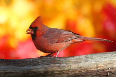 Male Northern Cardinal (Cardinalis) perched with a fall colors photo