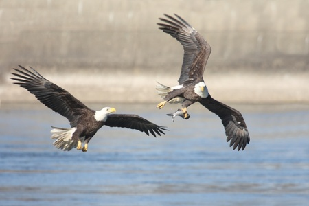 Bald Eagles (haliaeetus leucocephalus) in flight fighting over a fish photo
