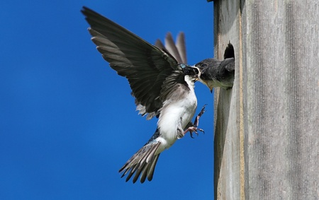 avian: Tree Swallow (tachycineta bicolor) feeding hungry babies Stock Photo