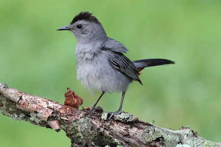 Gray Catbird (Dumetella carolinensis) on a branch with a green background Stock Photo - 11792598