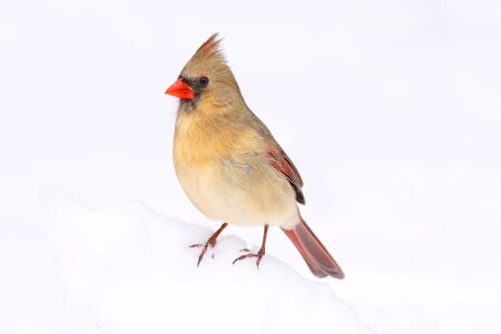 Female Northern Cardinal (cardinalis cardinalis) in snow photo