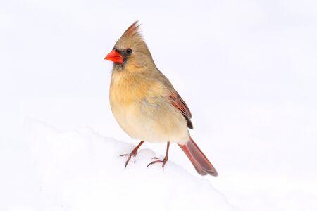 snow cardinal: Female Northern Cardinal (cardinalis cardinalis) in snow