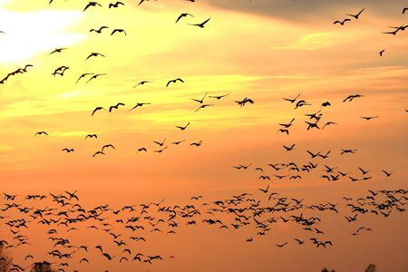 Snow Geese (chen caerulescens) and Ross Goose (C rossii) flying in front of the setting sun