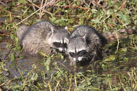 Pair of Baby Raccoons (Procyon lotor) searching for food photo