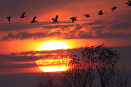 flying geese: Snow Geese (chen caerulescens) and Ross Goose (C rossii) flying in front of the setting sun Stock Photo