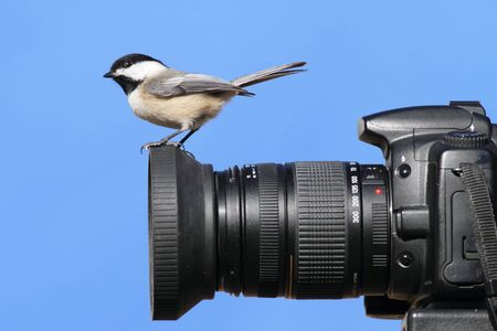 Black-capped Chickadee (Poecile atricapillus) perched on a camera