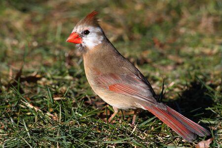 lacking: Leucistic Northern Cardinal (cardinalis cardinalis) lacking color in the facial area