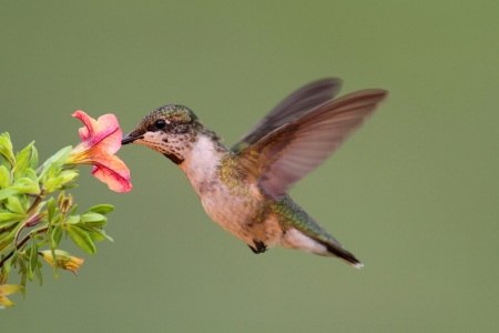 Juvenile Ruby-throated Hummingbird (archilochus colubris) in flight with a flower photo
