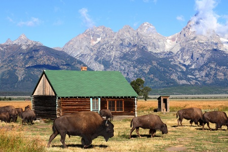 Iconic Mormon Row Barn which is a structure that is a part of Grand Tetons National Parks with bison in the foreground