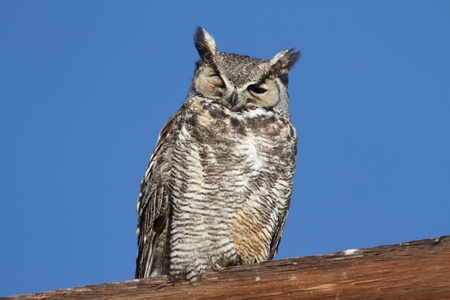 virginianus: Great Horned Owl (Bubo virginianus) perched with a blue sky background