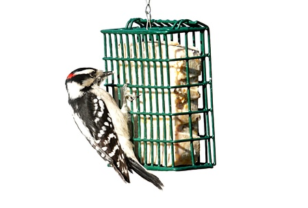 bird feeder: Downy Woodpecker (Picoides pubescens) on a suet feeder isolated with a white background