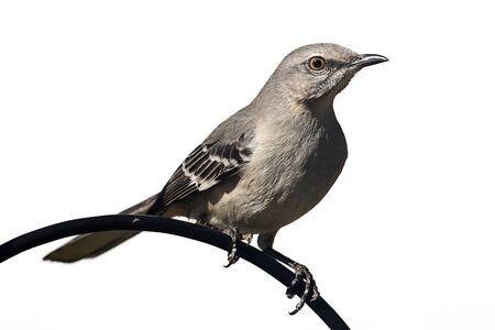 ruiseñor: Norte Mockingbird (Mimus polyglottos) en una percha - Aislado en un fondo blanco