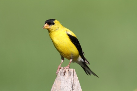 goldfinch: American Goldfinch (Carduelis tristis) on a fence and a green background