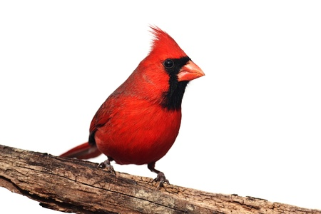 cardinal bird: Northern Cardinal (Cardinalis) on a stump - Isolated on a white background Stock Photo